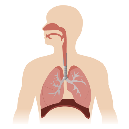 46072140 - human respiratory system anatomy. vector format illustration.